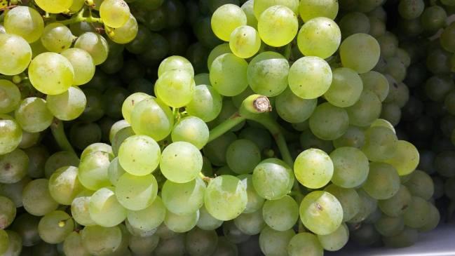Bürklin-Wolf. Chardonnay für Sektgrundwein