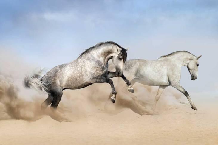 Lusitano Pferde