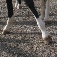 Pferde brauchen vor allem in der Aufzucht viel Bewegung und auch Böden mit Gegendruck. (© C. Götz)
