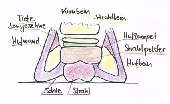 Querschnitt des Hufs auf Höhe des Strahlbeins: Das stoßdämpfende, bindegewebige Kissen im Hufinneren zwischen Strahl und Bewegungsapparat wird auch als Strahlpolster oder Strahlkissen bezeichnet. (© C. Götz)