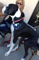 Great Dane Sitting