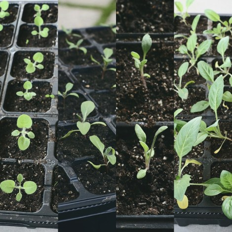 Henbane seedlings, April 2017
