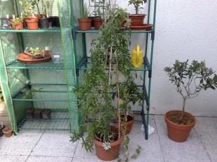 passiflora_caerulea_010414_1