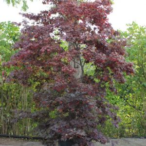 Acer-palmatum-Bloodgood