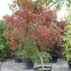 Acer-palmatum-Chitoseyama