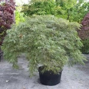 Acer-palmatum-Dissectum-grün
