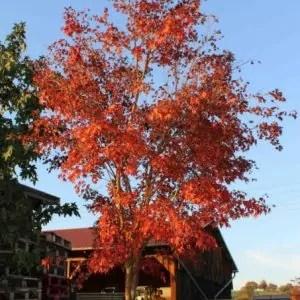 Acer-palmatum-Oridono-nishiki