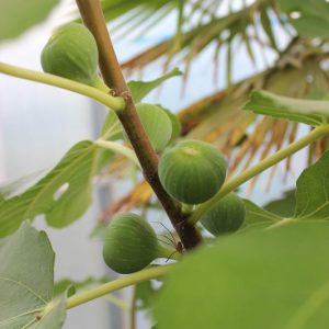 Ficus carica i.S. - Feige i.S. klein