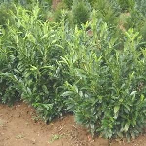 Prunus laur. Herbergii