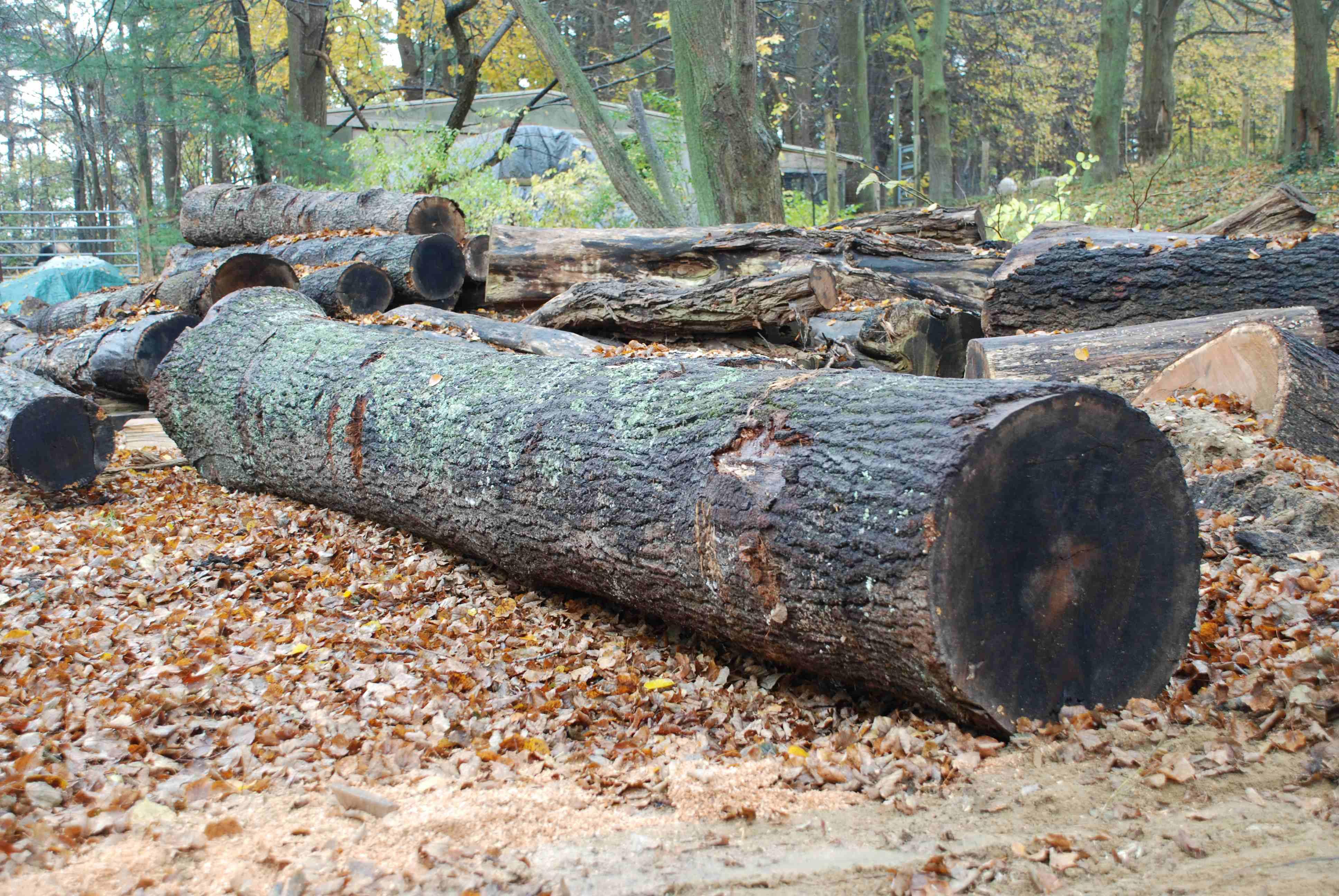 red oak log