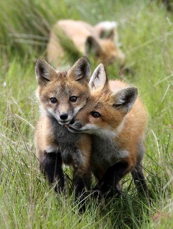 The red fox (Vulpes vulpes) | PARENTS ALLIANCE OF PRINCE ...