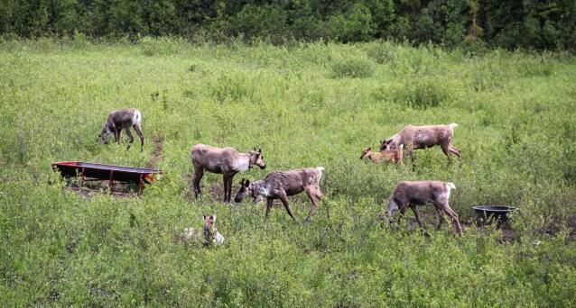 Caribou in the Klinse-za maternal pen near Chetwynd, B.C., in June 2015. Tristan Brand photo.
