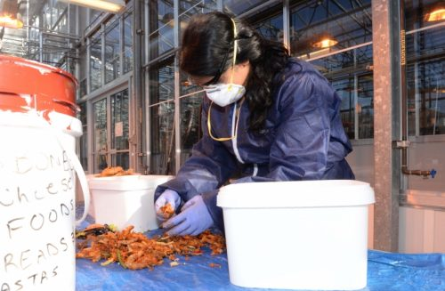 Master of Natural Resources and Environmental Studies graduate Jessy Rajan sorts food waste as part of a 2015 audit at UNBC's Prince George campus. Her findings were recently published in the Journal of Hunger and Environmental Nutrition. UNBC photo