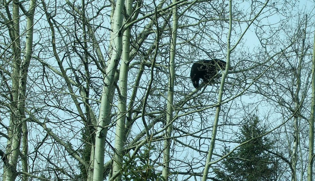 Make no mistake about it, the bears are out and they're hungry. This bruin was munching on buds in the Treetop Restaurant, about 25 feet up, just off Catherine Drive. Bill Phillips photo