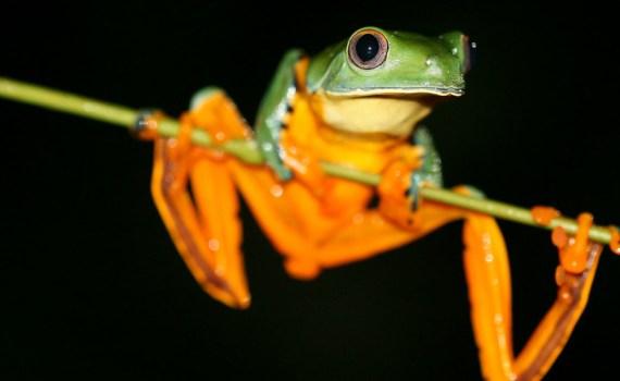 Splendid Leaf Frog - Ecuador