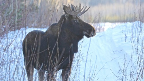 Joint effort saves moose, keeps airport safe