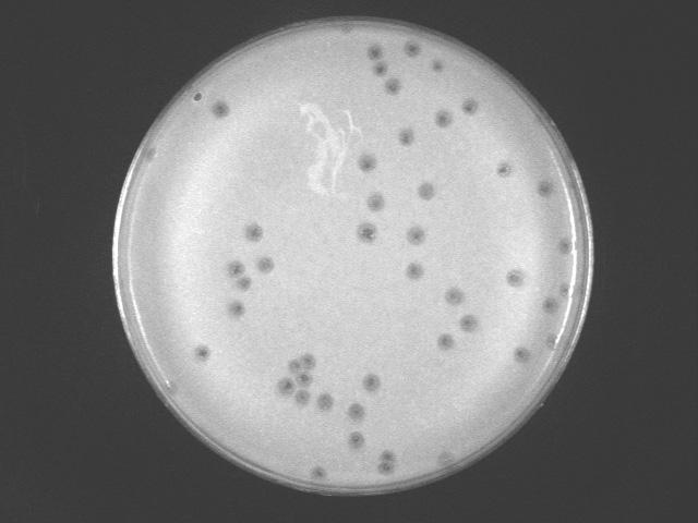 The Actinobacteriophage Database Phage Halo