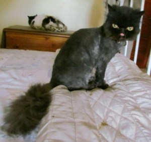 Ow! Ow! Sometimes Persians just have to be shaved to the nub, and the result is horrific! (Persian Cat Rescue of Johannesburg, SA published this image in a recent blog. Mr. Pickles, above, had to be shaved this way to deal with neglect in the form of mega-mats in his hair.)