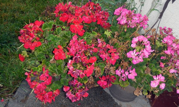 The Memorial Day geraniums welcomed the rain. This time of year, it couldf be snow, eh!? And we had some of that in early September.