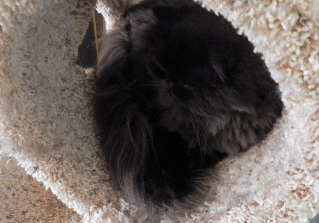 Lately, Dougy's  been sleeping in the cat tree, but that isn't where he is now.