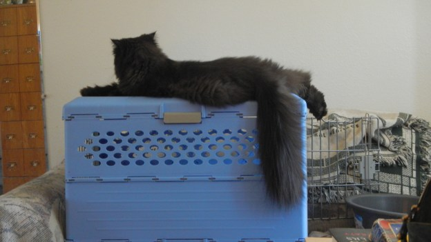 Later, Dougy's off to his hidey hole to snooze and Andy climbs on top of his favorite  perch, the blue carrier on the settee, for a nice rest of his own!