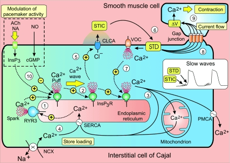 tjp0586-5047-f7 The cytosolic Ca2+ oscillator responsible for pacemaker activity in interstitial cells of Cajal releases periodic pulses of Ca2+ that form a Ca2+ wave.