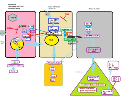 IDO mechanism for immune response