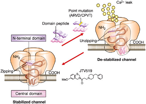 ncpcardio0419-f4   calcium leak