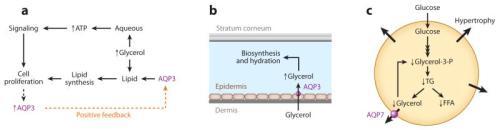 nihms365271f2  Roles of water-glycerol-transporting aquaporins (aquaglyceroporins).