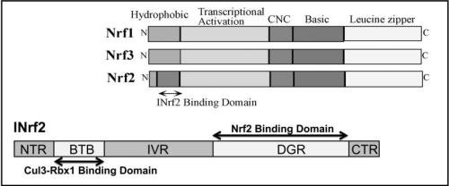 Fig. 2. Schematic Presentation of Various Domains of Nrf (Nrf1, Nrf2, Nrf3) and INrf2
