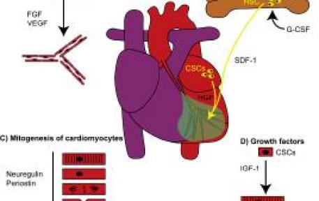 Regeneration of the heart by 4 different classes of proteins