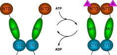 Pincer movement of Hsp90 coupled to the ATPase cycle. NTD = N-terminal domain, MD = middle domain, CTD = C-terminal domain.