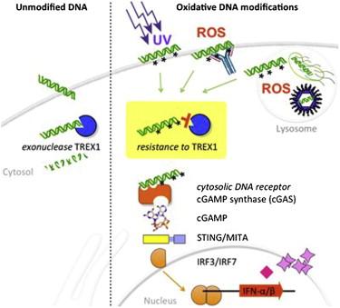 ribonuclease TREX1 and immunity