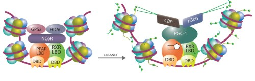 binding-of-a-ppar-ligand-to-the-ppar-ligand-binding-domain