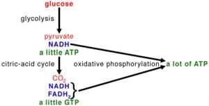 flowchart - making of ATP