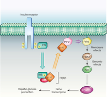 insulin receptor and and insulin receptor signaling pathway (IRS)