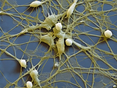 neural progenitor cells keep their identities