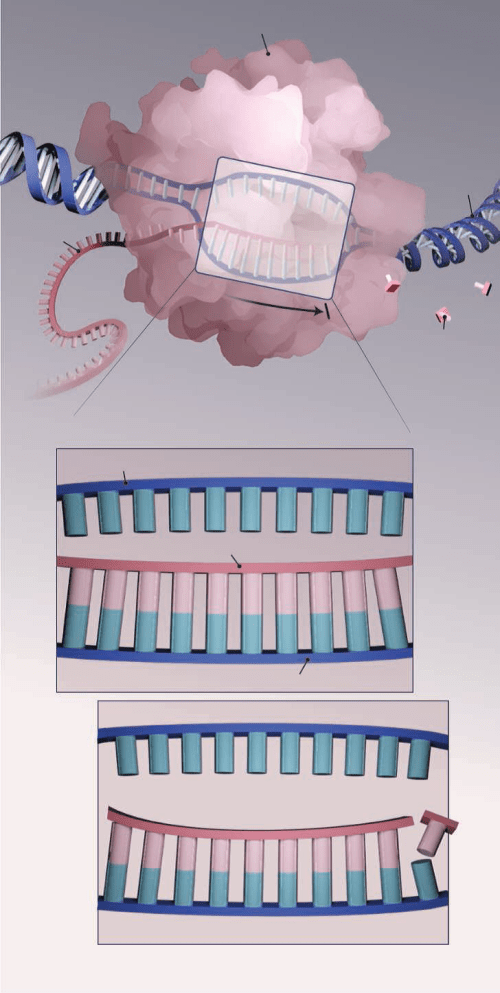 Polymerase, paused