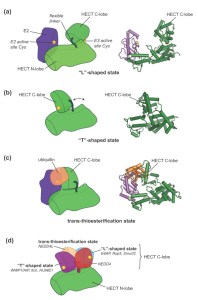 Swinging domains in HECT E3