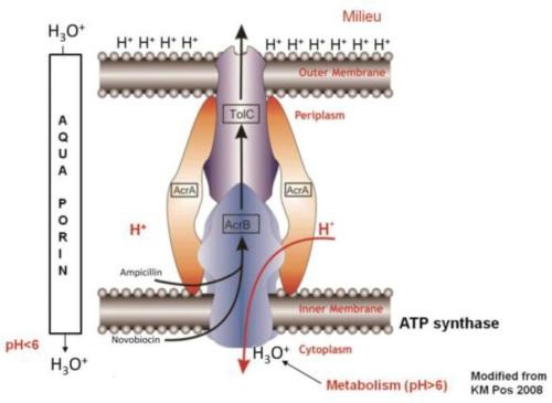 AcrAB-TolC efflux pump of a Gram-negative bacterium