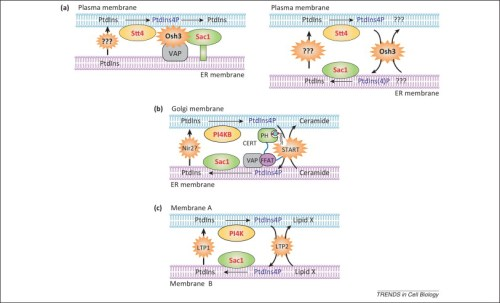 Inositol lipid regulation of lipid transfer in specialized membrane domains