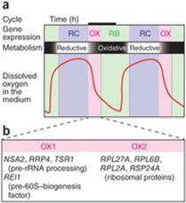 yeast metabolic cycle.