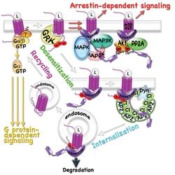 Arrestin binding to active GPCR kinase (GRK)-phosphorylated GPCRs blocks G protein coupling