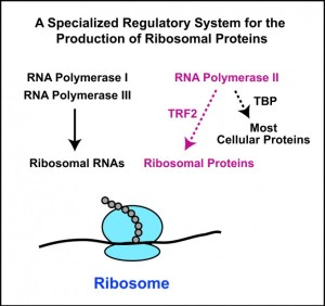 controlling the output of ribosomes.