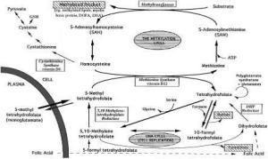 Metabolism of folate