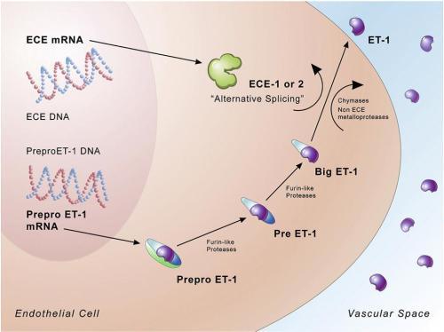 Endothelin-1 biosynthetic pathway