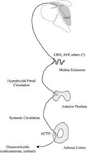 representations of the HPA axis