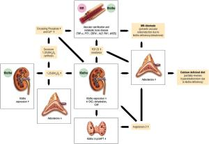 The interaction between aldosterone and Klotho and its relationship to vascular osteoinduction