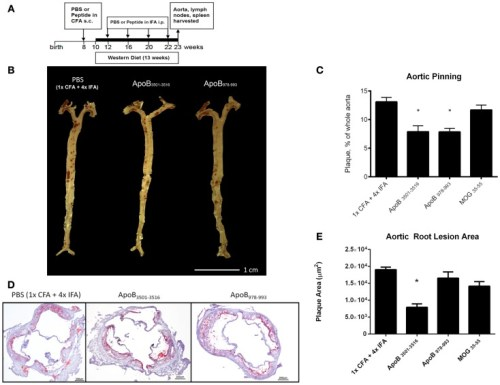 Atherosclerosis is decreased in ApoB3501–3516 and ApoB978–993
