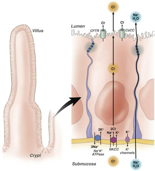 Cl- channels as targets for therapy of secretory diarrheas